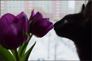 Cat smelling tulip
