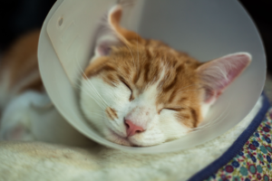 cat sleeping in e-collar after surgery