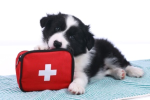 black and white puppy chewing red first aid kit