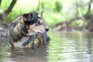 German Shepherd mix standing in New England forest creek water